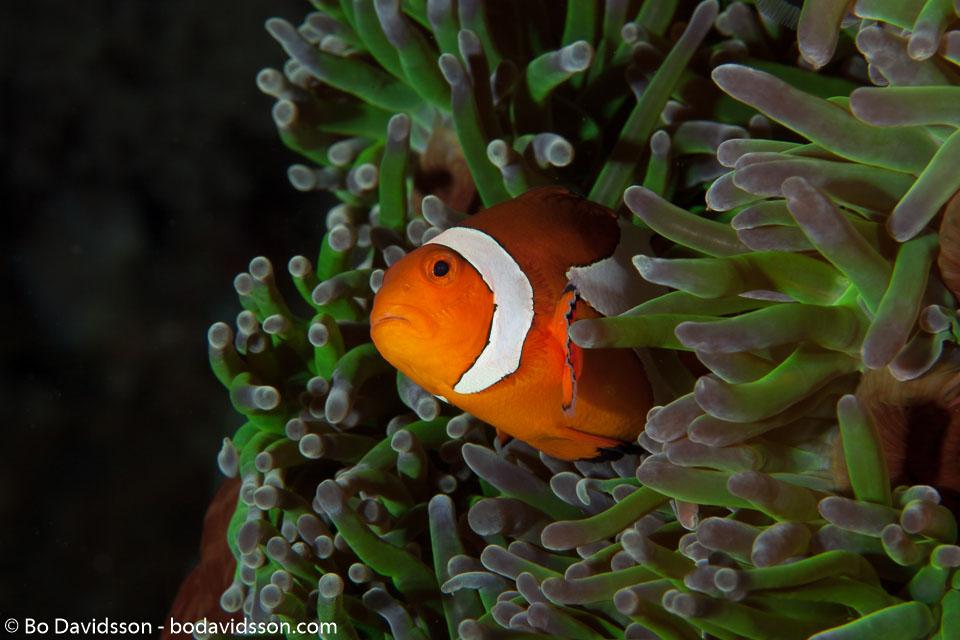 BD-140313-Padre-Burgos-1622-Amphiprion-ocellaris.-Cuvier.-1830-[Clown-anemonefish].jpg